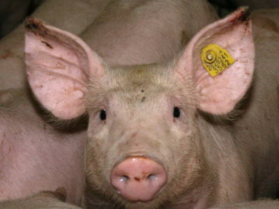 Ear Necrosis Pig